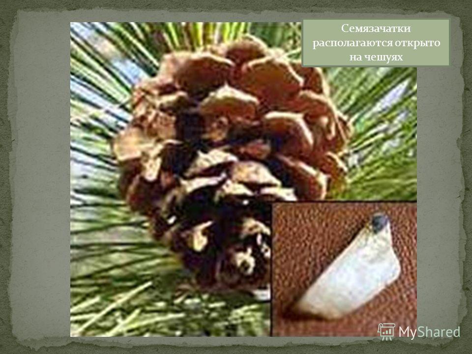 Семязачатки располагаются открыто на чешуях