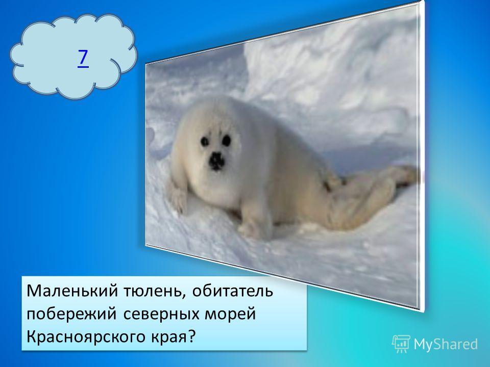 7 Маленький тюлень, обитатель побережий северных морей Красноярского края?