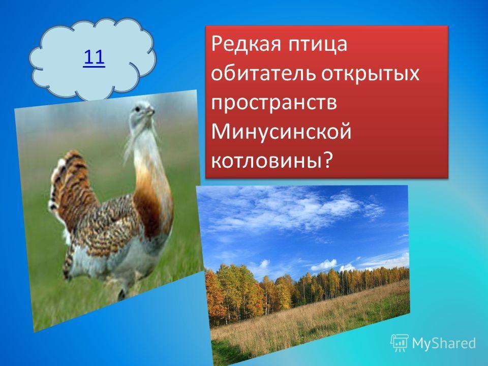 11 Редкая птица обитатель открытых пространств Минусинской котловины?