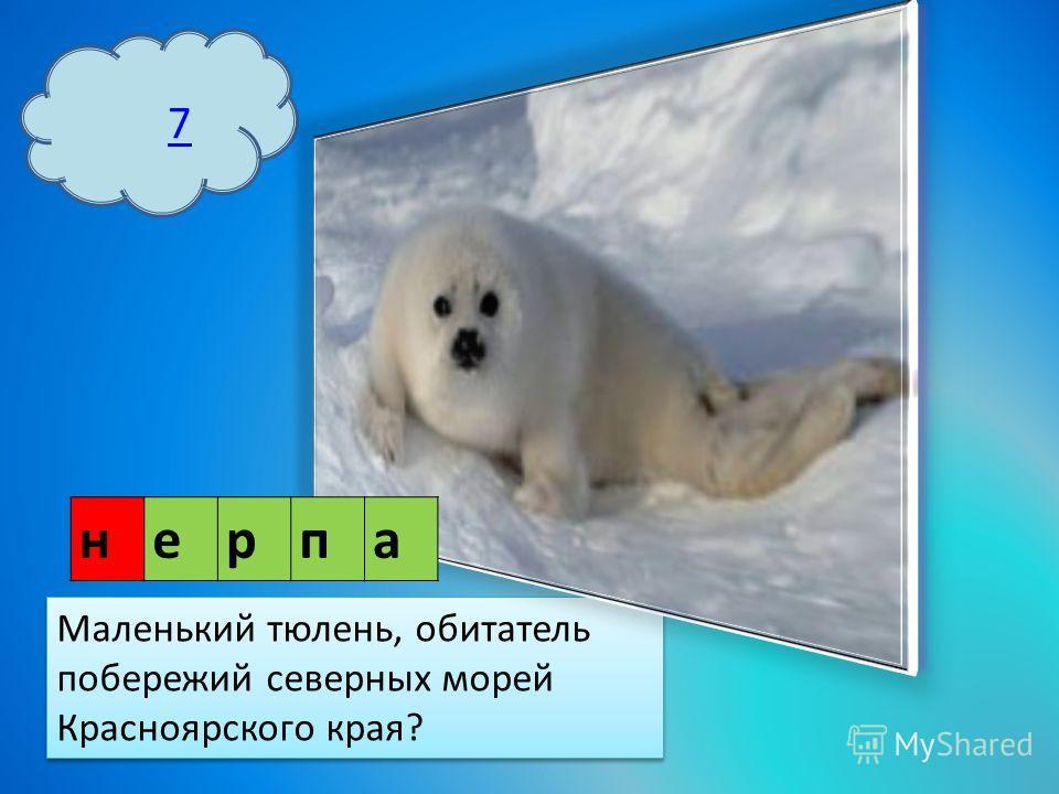 7 Маленький тюлень, обитатель побережий северных морей Красноярского края? нерпа