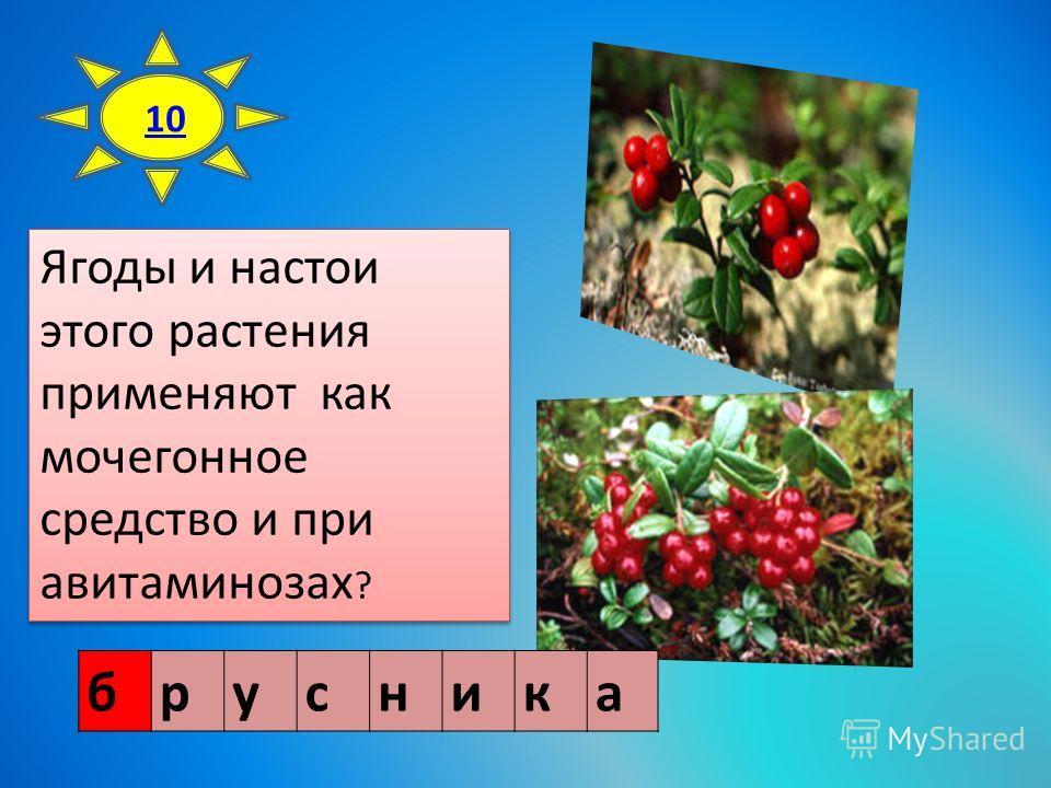 10 Ягоды и настои этого растения применяют как мочегонное средство и при авитаминозах ? брусника