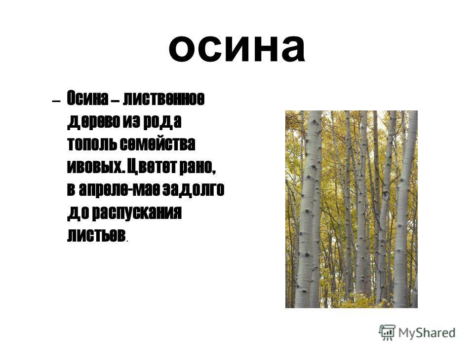 осина –Осина – лиственное дерево из рода тополь семейства ивовых. Цветет рано, в апреле-мае задолго до распускания листьев.