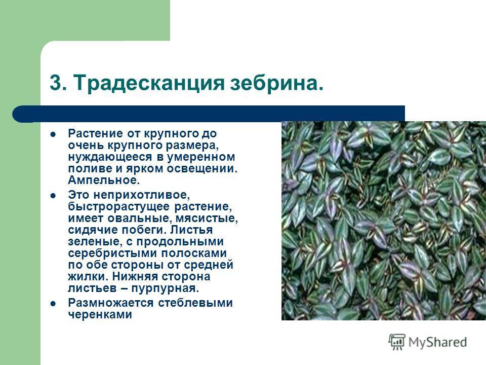 3. Традесканция зебрина. Растение от крупного до очень крупного размера, нуждающееся в умеренном поливе и ярком освещении. Ампельное. Это неприхотливое, быстрорастущее растение, имеет овальные, мясистые, сидячие побеги. Листья зеленые, с продольными