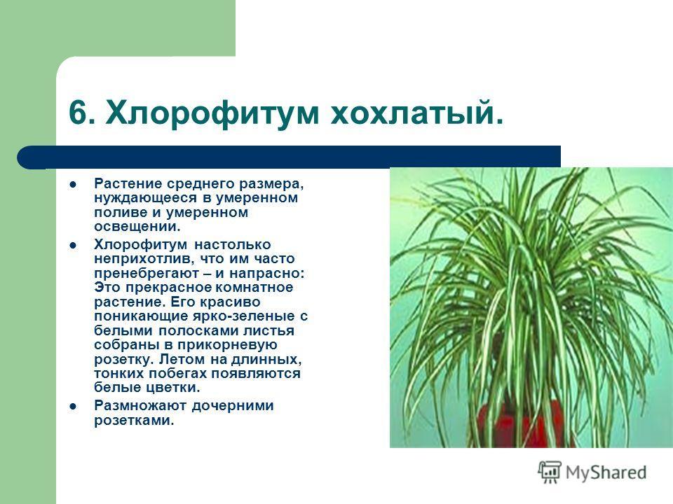 6. Хлорофитум хохлатый. Растение среднего размера, нуждающееся в умеренном поливе и умеренном освещении. Хлорофитум настолько неприхотлив, что им часто пренебрегают – и напрасно: Это прекрасное комнатное растение. Его красиво поникающие ярко-зеленые