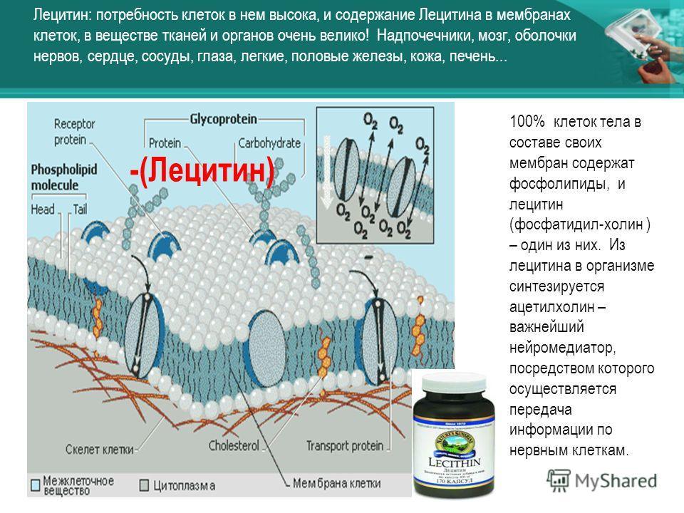 -(Лецитин) Лецитин: потребность клеток в нем высока, и содержание Лецитина в мембранах клеток, в веществе тканей и органов очень велико! Надпочечники, мозг, оболочки нервов, сердце, сосуды, глаза, легкие, половые железы, кожа, печень... 100% клеток т