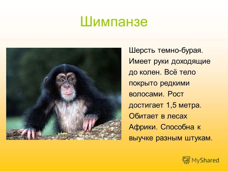 Шимпанзе Шерсть темно-бурая. Имеет руки доходящие до колен. Всё тело покрыто редкими волосами. Рост достигает 1,5 метра. Обитает в лесах Африки. Способна к выучке разным штукам.