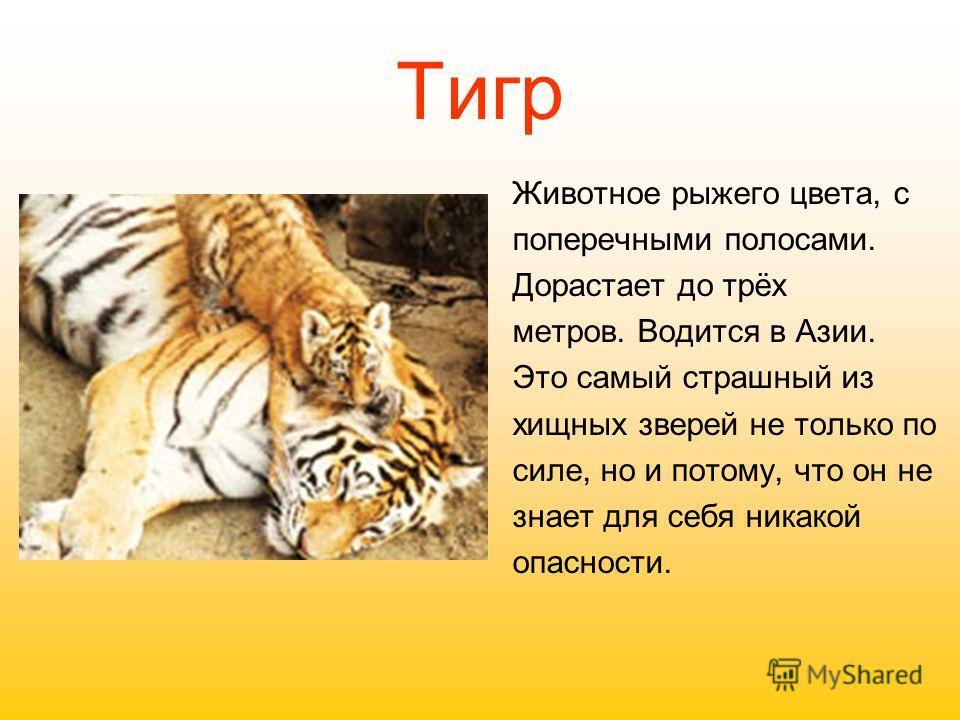 Тигр Животное рыжего цвета, с поперечными полосами. Дорастает до трёх метров. Водится в Азии. Это самый страшный из хищных зверей не только по силе, но и потому, что он не знает для себя никакой опасности.