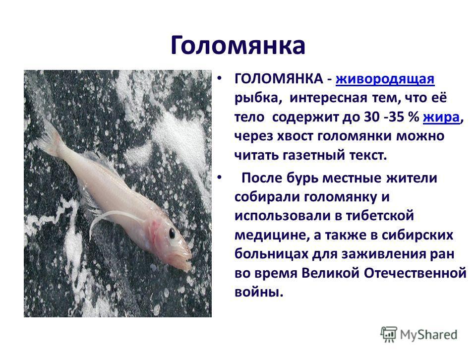 Голомянка ГОЛОМЯНКА - живородящая рыбка, интересная тем, что её тело содержит до 30 -35 % жира, через хвост голомянки можно читать газетный текст.живородящаяжира После бурь местные жители собирали голомянку и использовали в тибетской медицине, а такж