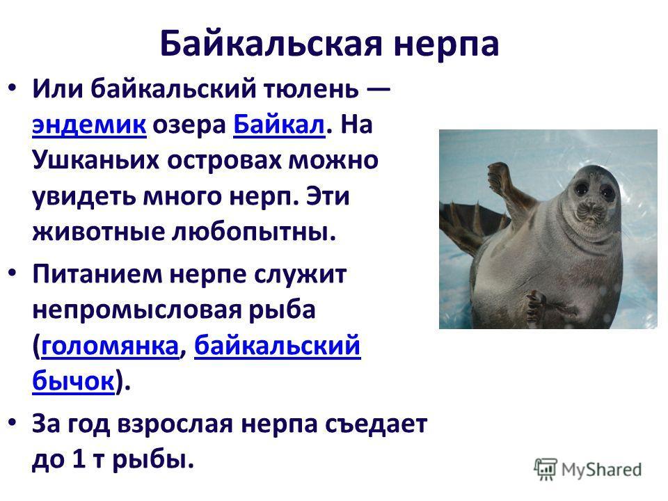 Байкальская нерпа Или байкальский тюлень эндемик озера Байкал. На Ушканьих островах можно увидеть много нерп. Эти животные любопытны. эндемикБайкал Питанием нерпе служит непромысловая рыба (голомянка, байкальский бычок).голомянкабайкальский бычок За