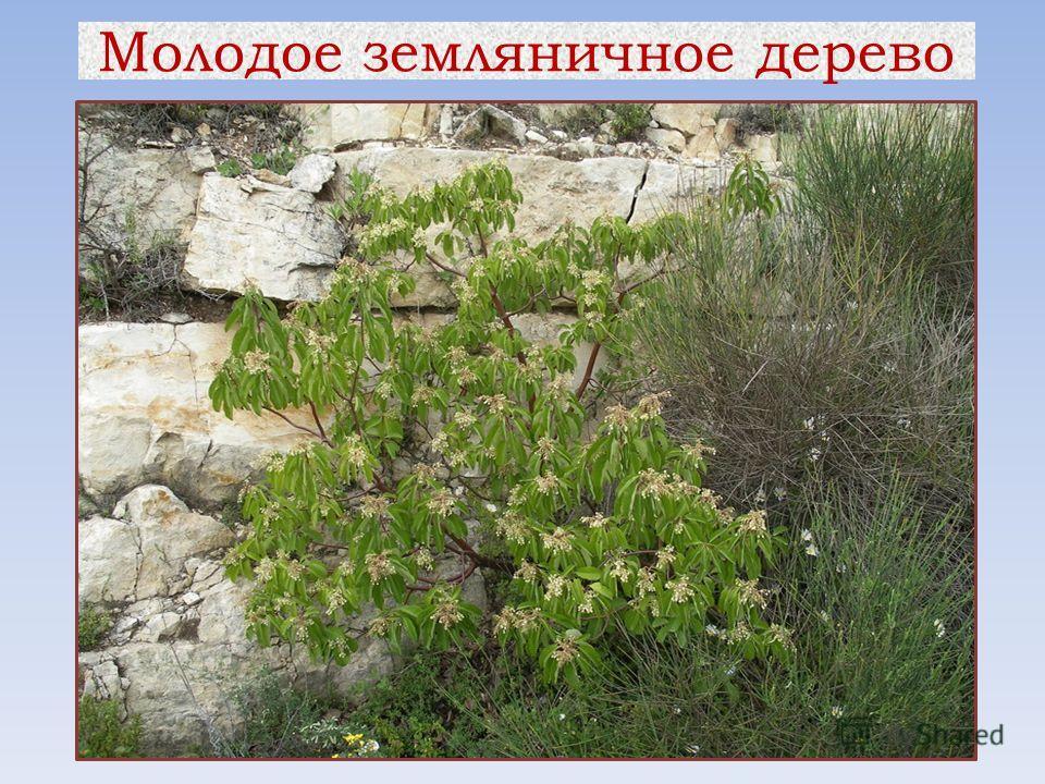 Молодое земляничное дерево
