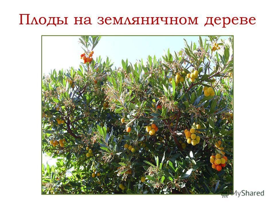 Плоды на земляничном дереве