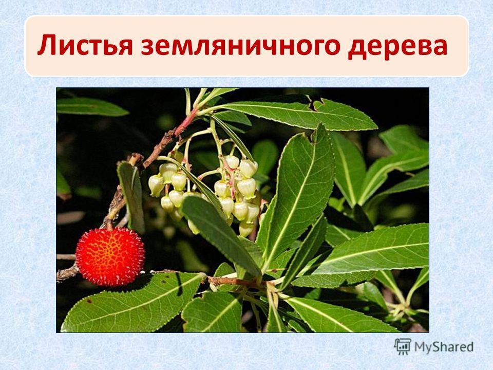 Листья земляничного дерева