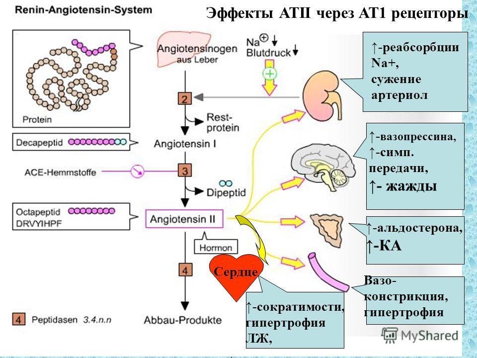 VBWG -реабсорбции Na+, сужение артериол - вазопрессина, -симп.передачи,- жажды -альдостерона, -КА Вазо- констрикция, гипертрофия Сердце -сократимости, гипертрофия ЛЖ, Эффекты АТII через АТ1 рецепторы