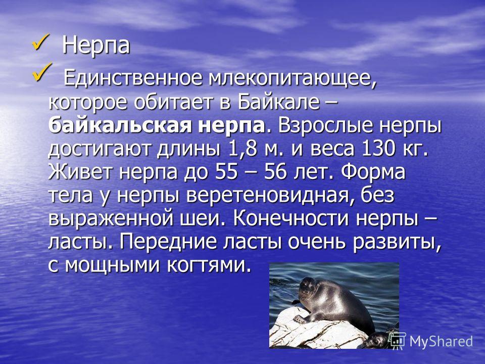 Н Нерпа Е Единственное млекопитающее, которое обитает в Байкале – байкальская нерпа. Взрослые нерпы достигают длины 1,8 м. и веса 130 кг. Живет нерпа до 55 – 56 лет. Форма тела у нерпы веретеновидная, без выраженной шеи. Конечности нерпы – ласты. Пер