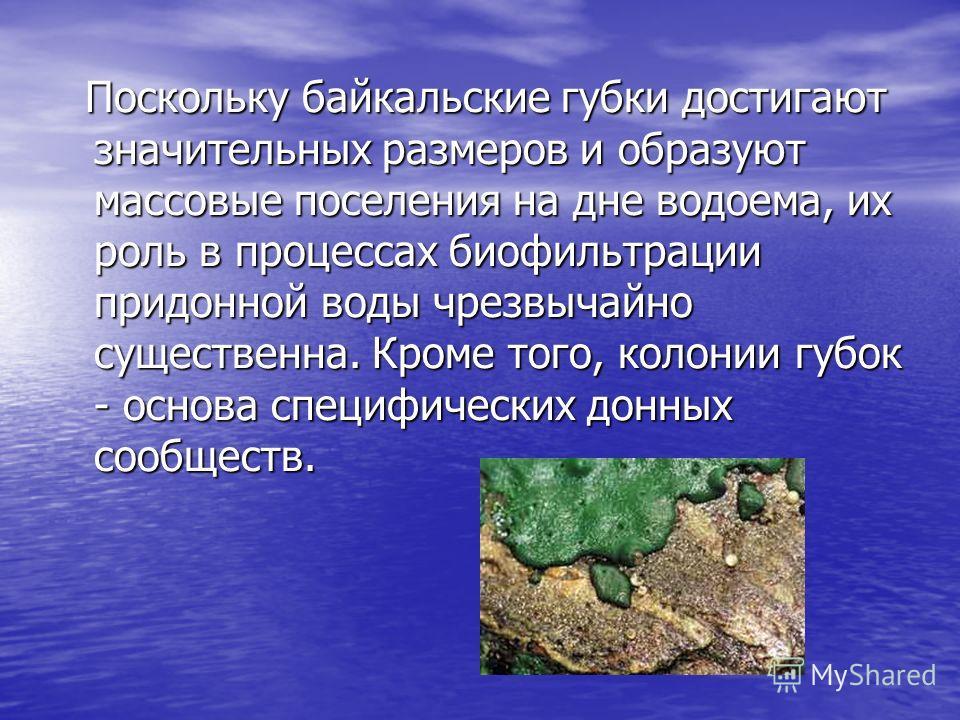 Поскольку байкальские губки достигают значительных размеров и образуют массовые поселения на дне водоема, их роль в процессах биофильтрации придонной воды чрезвычайно существенна. Кроме того, колонии губок - основа специфических донных сообществ.