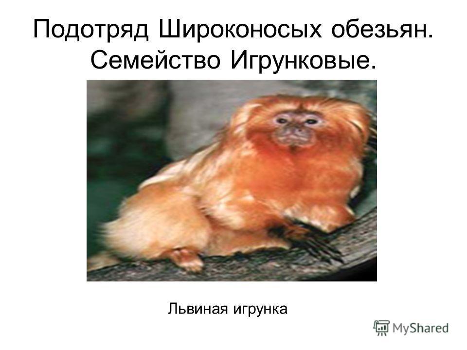 Подотряд Широконосых обезьян. Семейство Игрунковые. Львиная игрунка