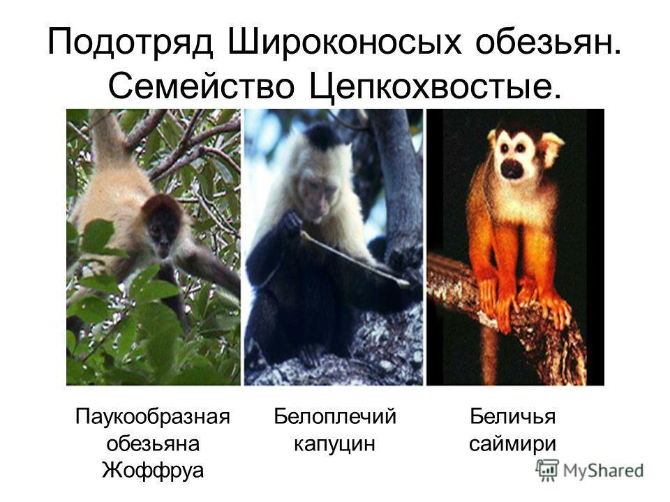 Подотряд Широконосых обезьян. Семейство Цепкохвостые. Беличья саймири Паукообразная обезьяна Жоффруа Белоплечий капуцин