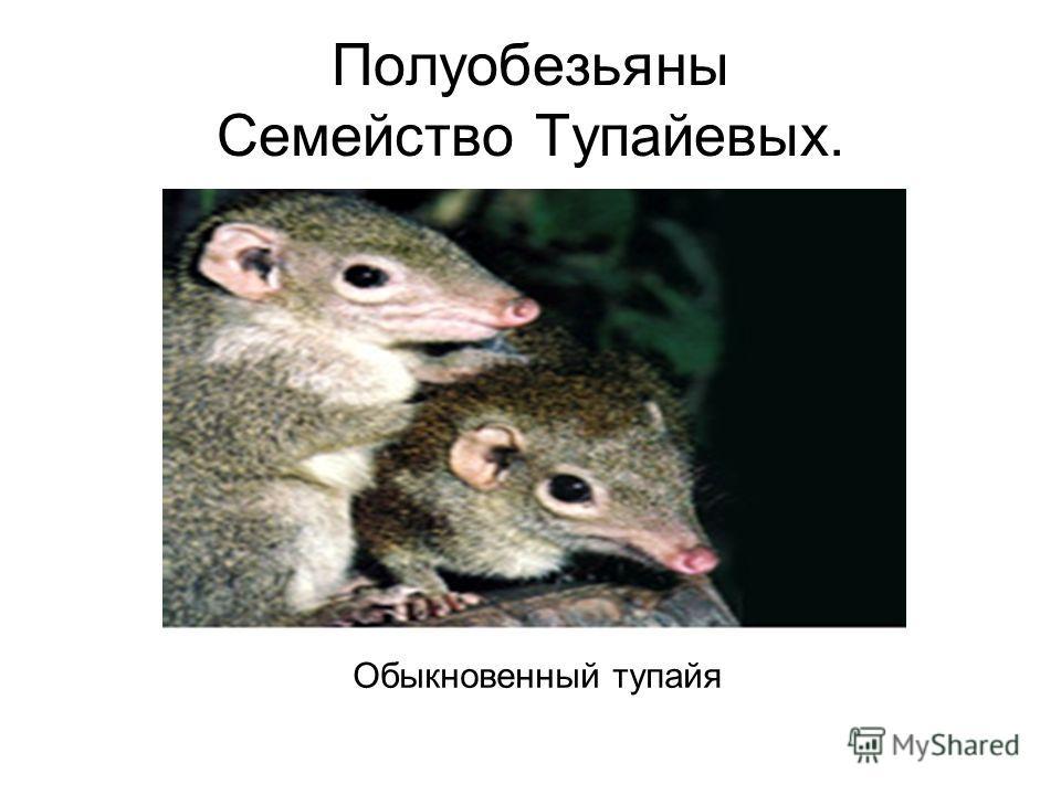 Полуобезьяны Семейство Тупайевых. Обыкновенный тупайя