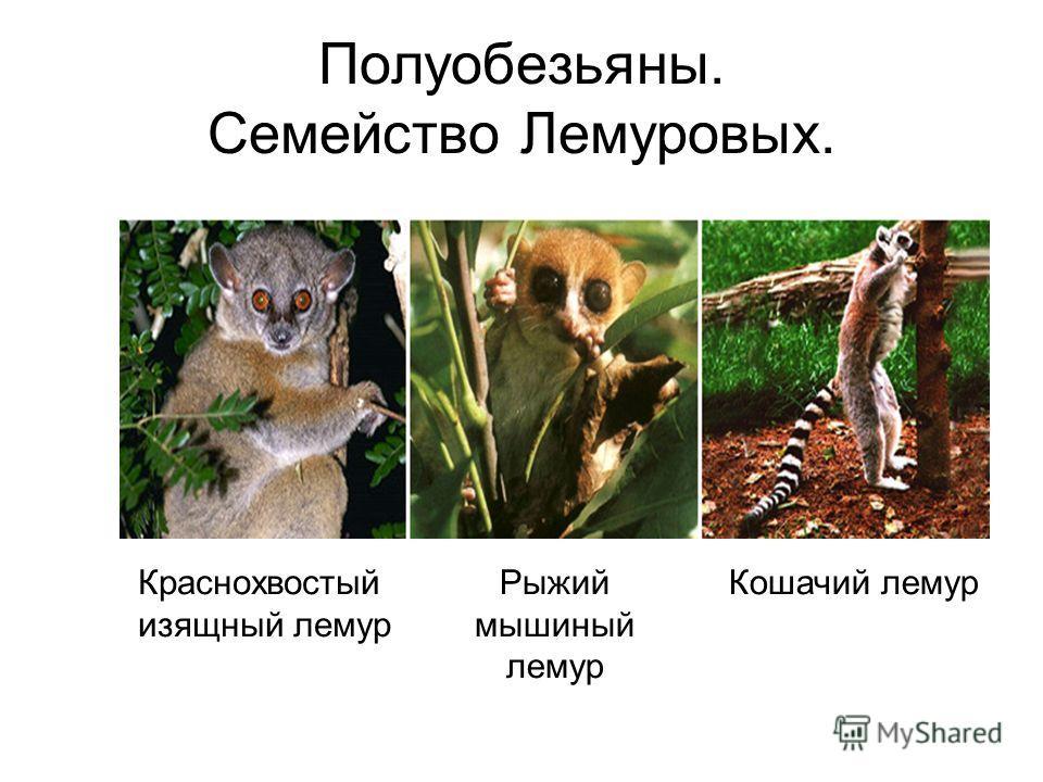 Полуобезьяны. Семейство Лемуровых. Рыжий мышиный лемур Кошачий лемурКраснохвостый изящный лемур