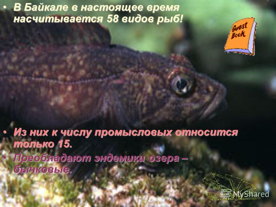 В Байкале в настоящее время насчитывается 58 видов рыб! Из них к числу промысловых относится только 15. Преобладают эндемики озера – бычковые.