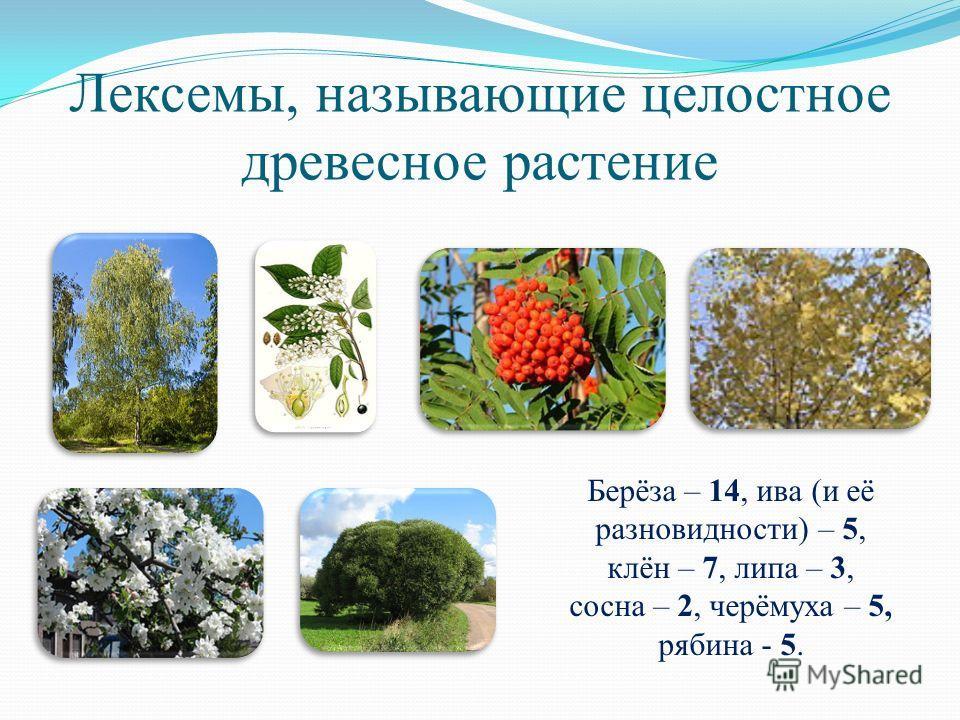 Лексемы, называющие целостное древесное растение Берёза – 14, ива (и её разновидности) – 5, клён – 7, липа – 3, сосна – 2, черёмуха – 5, рябина - 5.