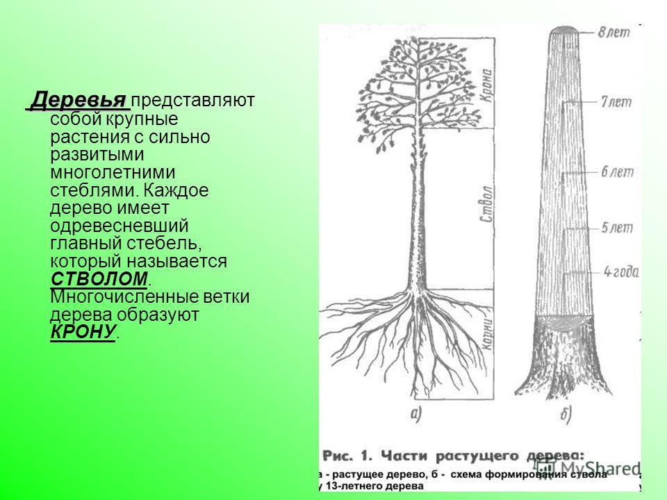 Деревья Деревья представляют собой крупные растения с сильно развитыми многолетними стеблями. Каждое дерево имеет одревесневший главный стебель, который называется СТВОЛОМ. Многочисленные ветки дерева образуют КРОНУ.