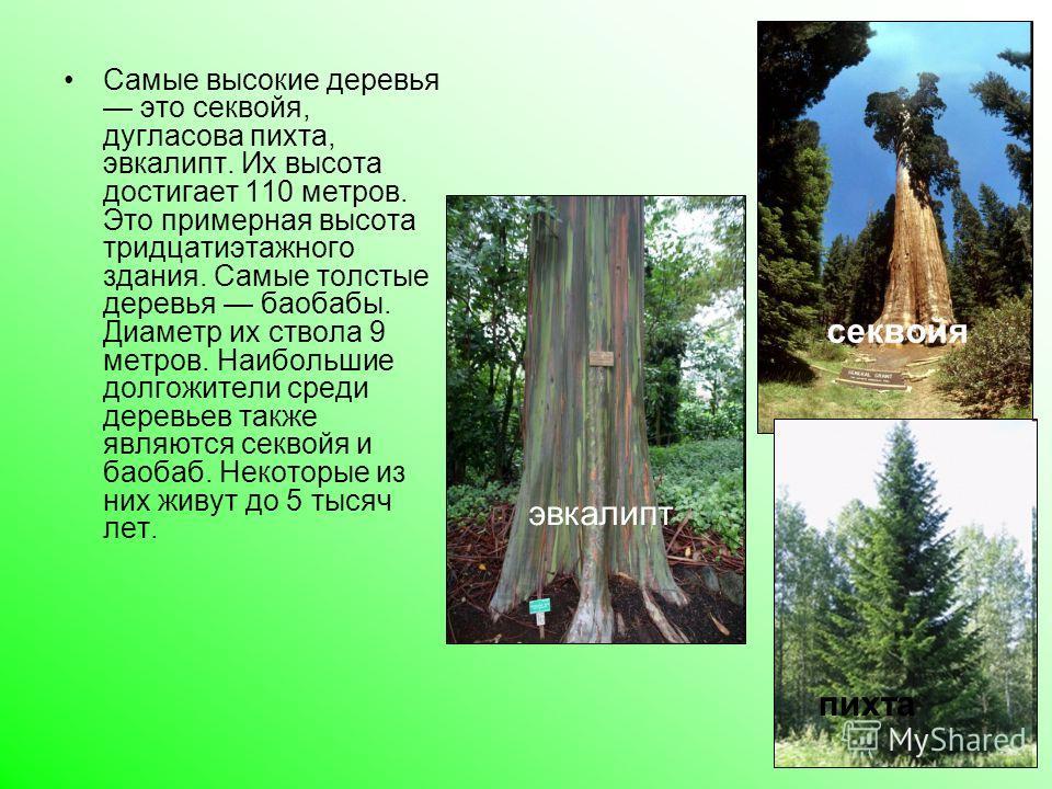 Самые высокие деревья это секвойя, дугласова пихта, эвкалипт. Их высота достигает 110 метров. Это примерная высота тридцатиэтажного здания. Самые толстые деревья баобабы. Диаметр их ствола 9 метров. Наибольшие долгожители среди деревьев также являютс