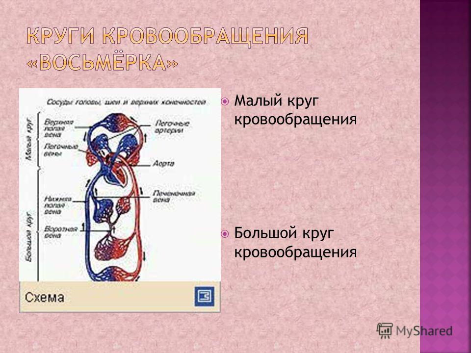 Малый круг кровообращения Большой круг кровообращения