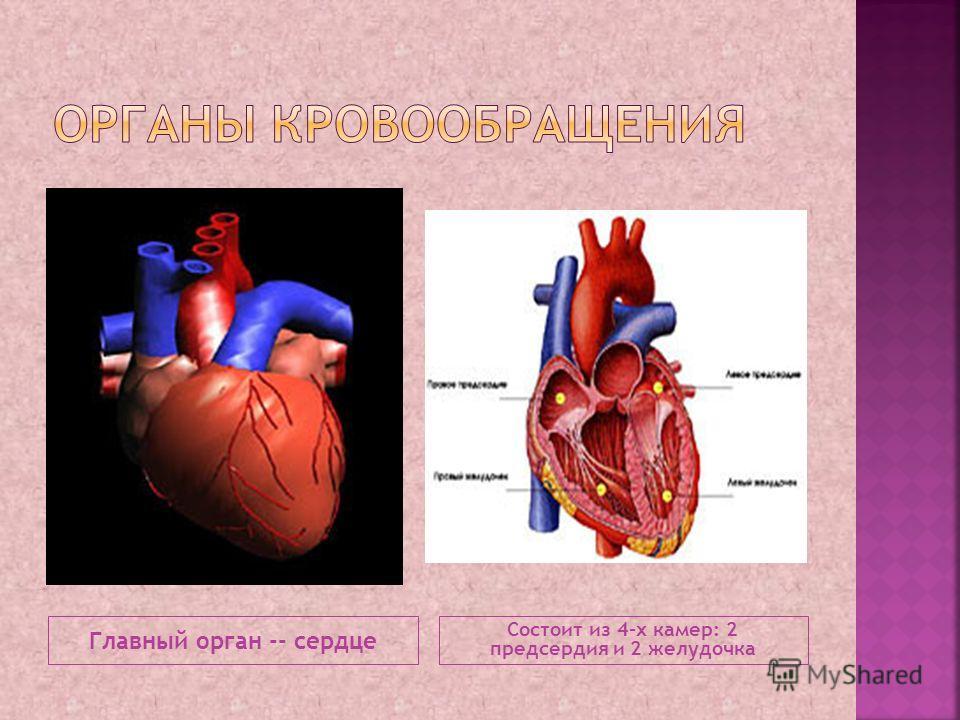 Главный орган -- сердце Состоит из 4-х камер: 2 предсердия и 2 желудочка