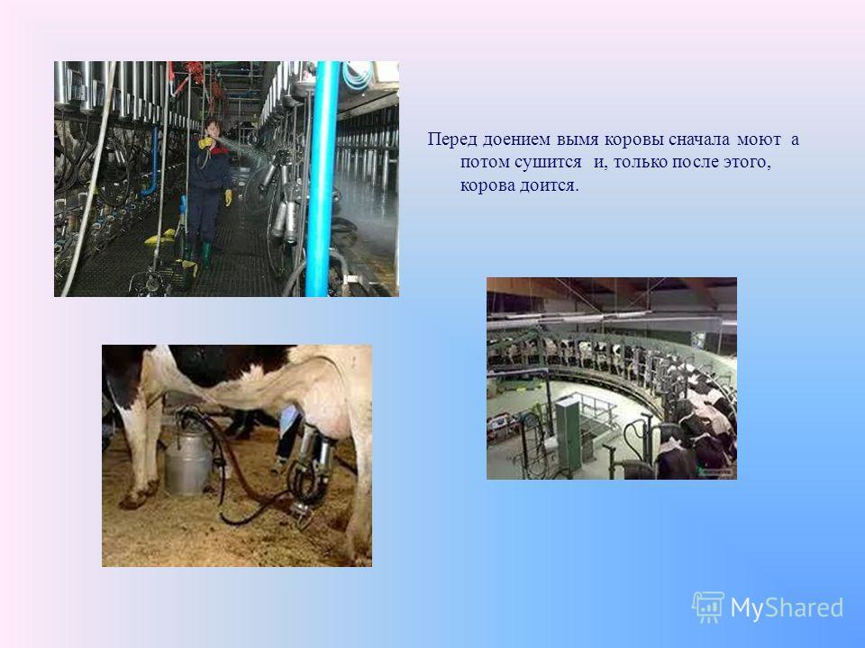 Перед доением вымя коровы сначала моют а потом сушится и, только после этого, корова доится.