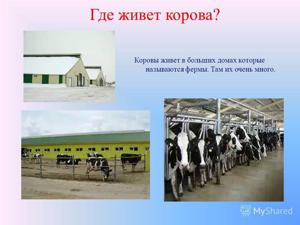 Где живет корова? Коровы живет в больших домах которые называются фермы. Там их очень много.