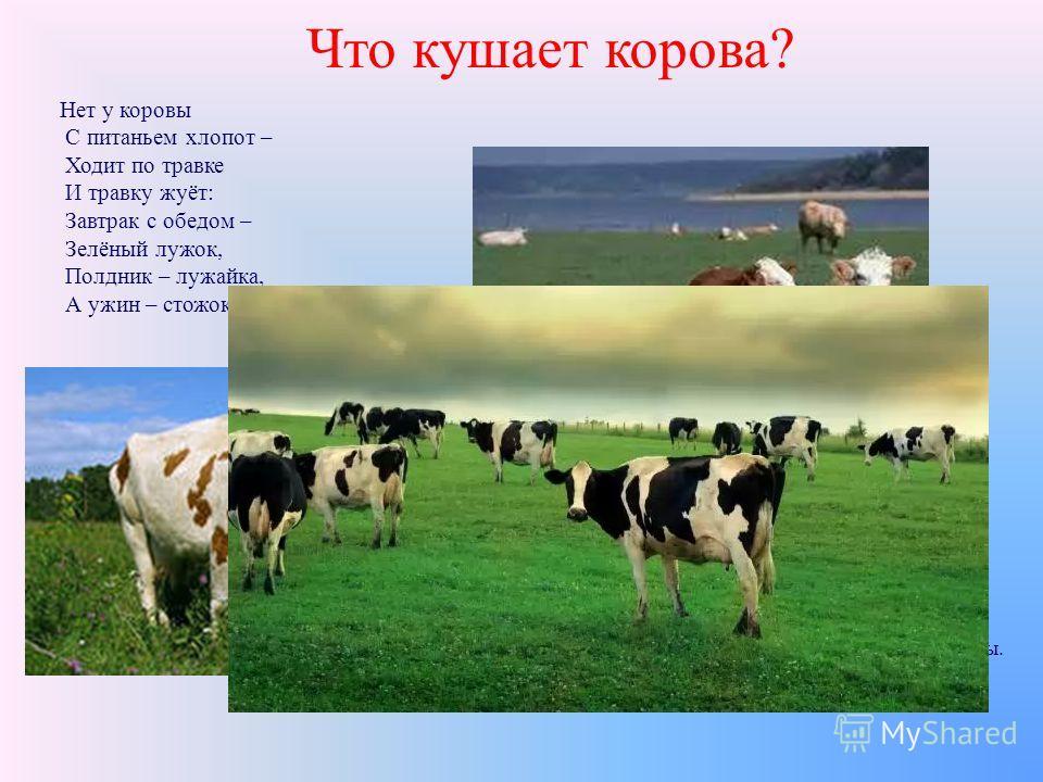 Что кушает корова? Весной, летом, осенью пастухи пасут стада корова на пастбище. Где много вкусной, зеленой, сочной травы. Нет у коровы С питаньем хлопот – Ходит по травке И травку жуёт: Завтрак с обедом – Зелёный лужок, Полдник – лужайка, А ужин – с