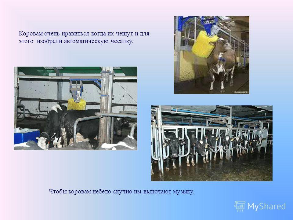 Чтобы коровам небело скучно им включают музыку. Коровам очень нравиться когда их чешут и для этого изобрели автоматическую чесалку.