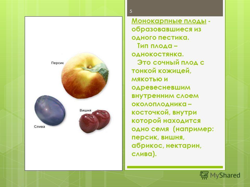5 Монокарпные плоды - образовавшиеся из одного пестика. Тип плода – однокостянка. Это сочный плод с тонкой кожицей, мякотью и одревесневшим внутренним слоем околоплодника – косточкой, внутри которой находится одно семя (например: персик, вишня, абрик