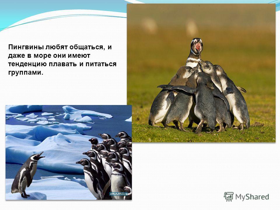 Пингвины, как полагают ученые, являются самыми социальными птицами. Они высиживают и растят птенцов в больших общих поселениях – колониях. И свои гнёзда стараются делать рядом друг с другом.