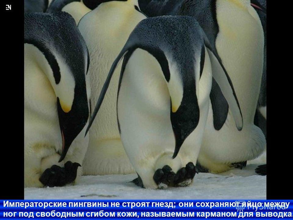 Большинство разновидностей пингвинов строит гнезда, но их гнезда могут состоять только из груды скал, очисток или пустот в грязи.