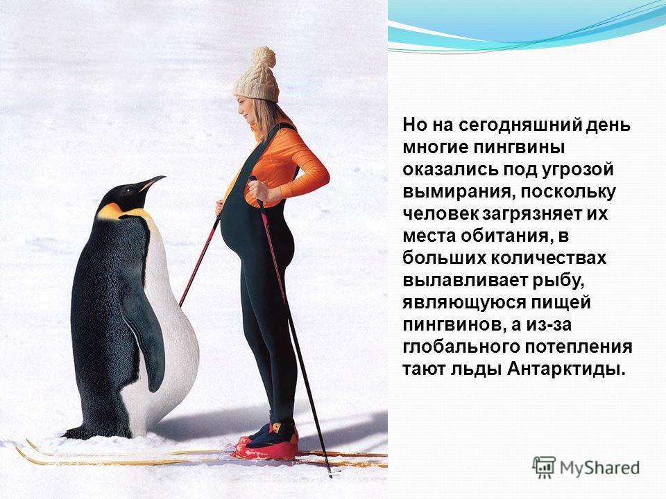 Долгое время пингвины не были знакомы с людьми, поэтому и сохранили свои природные любопытство и доверчивость.