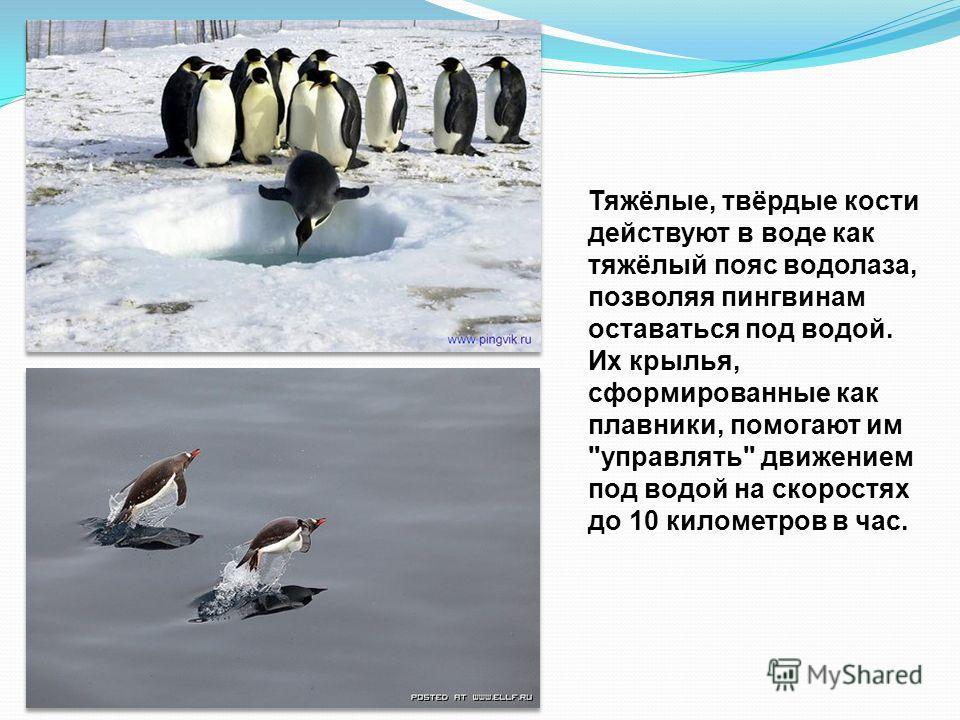 Вообще пингвины созданы для жизни в море. Некоторые разновидности проводят целых 75 % своей жизни в воде, на сушу они выбираются только для того, чтобы отложить яйца и дождаться потомства.