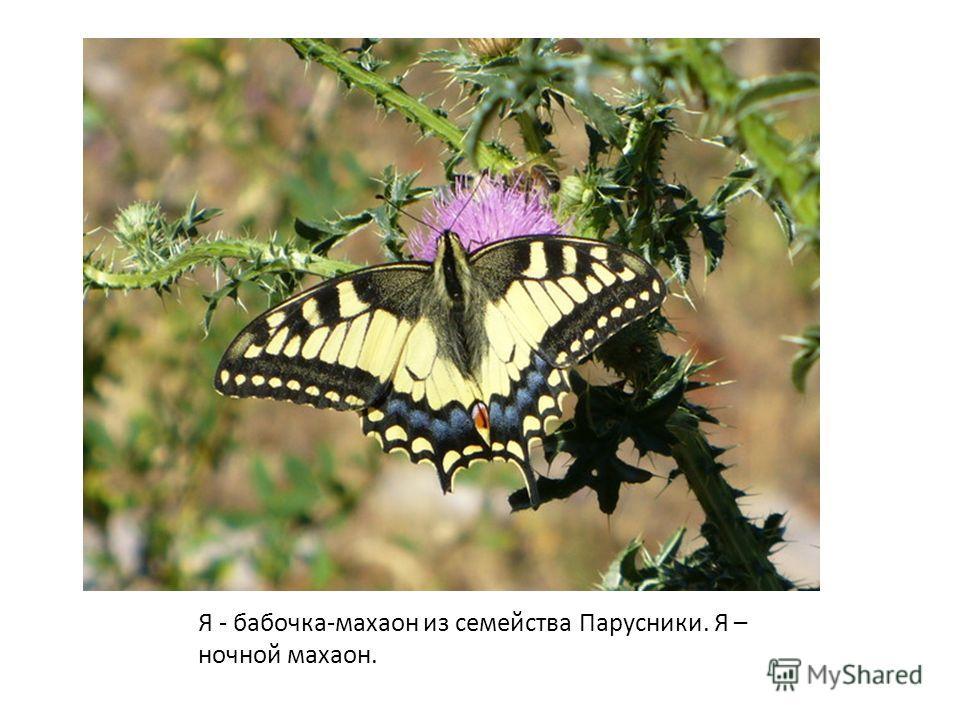 Я - бабочка-махаон из семейства Парусники. Я – ночной махаон.