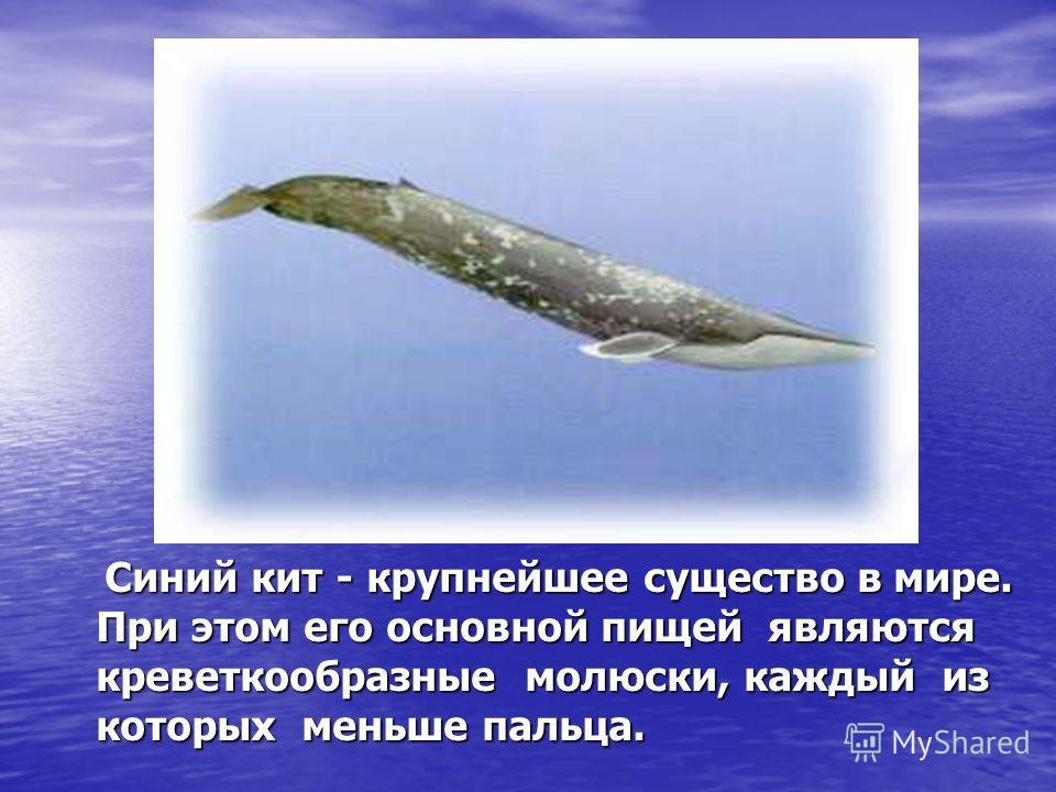 Синий кит - крупнейшее существо в мире. При этом его основной пищей являются креветкообразные молюски, каждый из которых меньше пальца. Синий кит - крупнейшее существо в мире. При этом его основной пищей являются креветкообразные молюски, каждый из к