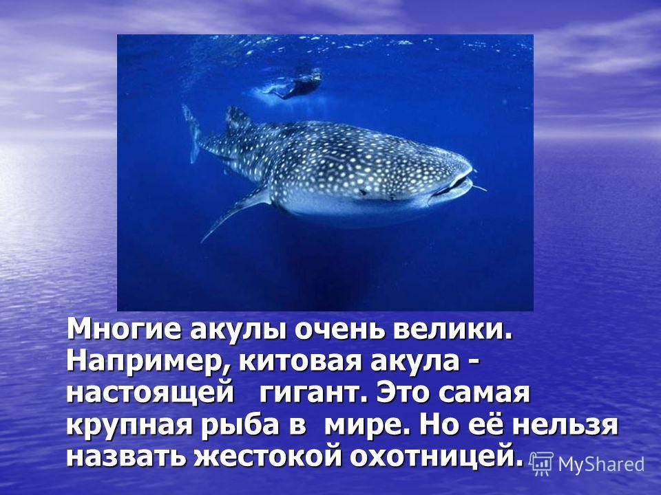 Многие акулы очень велики. Например, китовая акула - настоящей гигант. Это самая крупная рыба в мире. Но её нельзя назвать жестокой охотницей. Многие акулы очень велики. Например, китовая акула - настоящей гигант. Это самая крупная рыба в мире. Но её