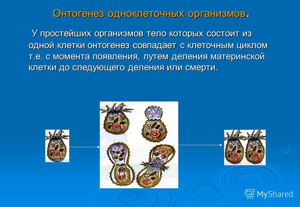 Онтогенез одноклеточных организмов. У простейших организмов тело которых состоит из одной клетки онтогенез совпадает с клеточным циклом т.е. с момента появления, путем деления материнской клетки до следующего деления или смерти. У простейших организм