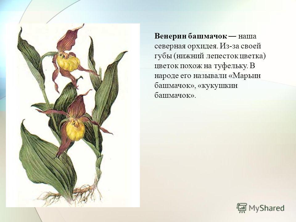 Венерин башмачок наша северная орхидея. Из-за своей губы (нижний лепесток цветка) цветок похож на туфельку. В народе его называли «Марьин башмачок», «кукушкин башмачок».