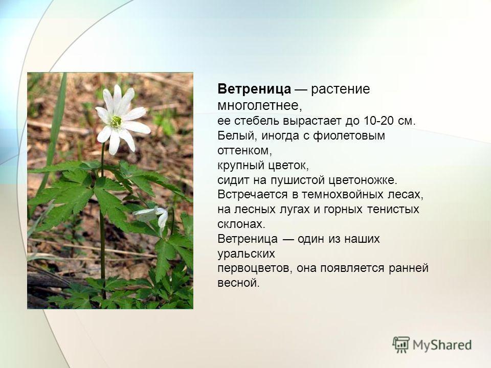 Ветреница растение многолетнее, ее стебель вырастает до 10-20 см. Белый, иногда с фиолетовым оттенком, крупный цветок, сидит на пушистой цветоножке. Встречается в темнохвойных лесах, на лесных лугах и горных тенистых склонах. Ветреница один из наших