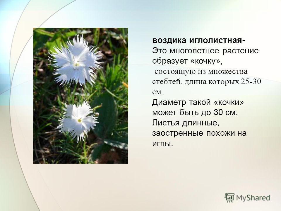воздика иглолистная- Это многолетнее растение образует «кочку», состоящую из множества стеблей, длина которых 25-30 см. Диаметр такой «кочки» может быть до 30 см. Листья длинные, заостренные похожи на иглы.