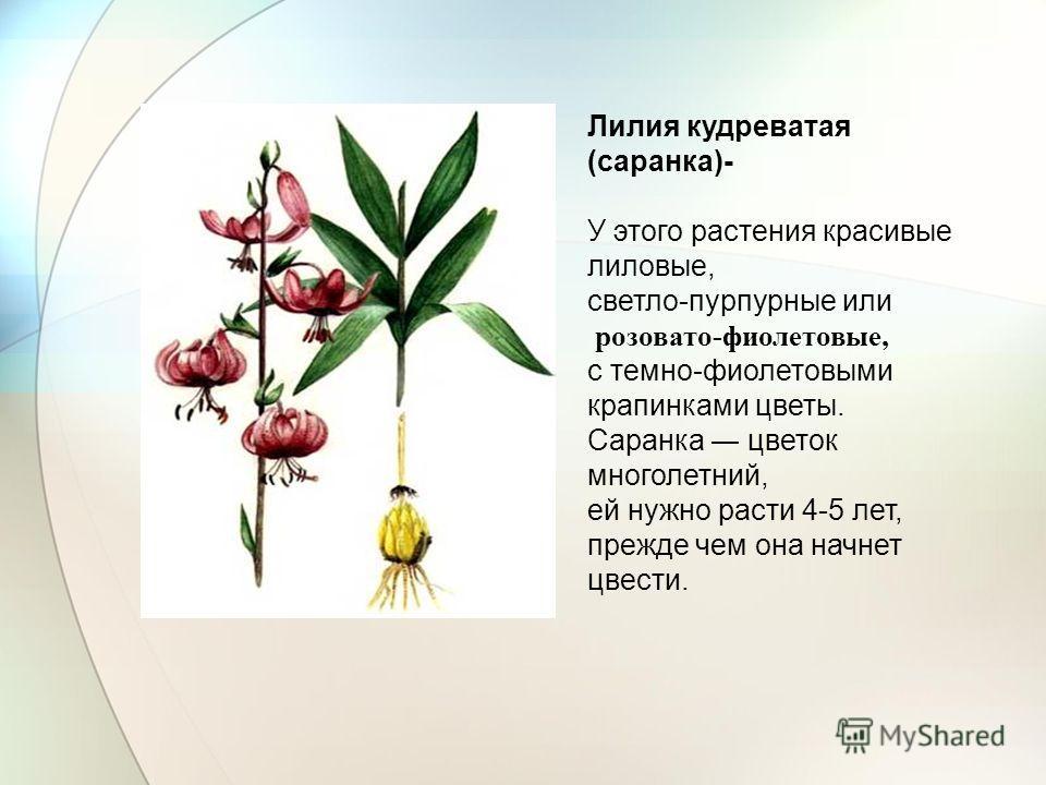 Лилия кудреватая (саранка)- У этого растения красивые лиловые, светло-пурпурные или розовато-фиолетовые, с темно-фиолетовыми крапинками цветы. Саранка цветок многолетний, ей нужно расти 4-5 лет, прежде чем она начнет цвести.