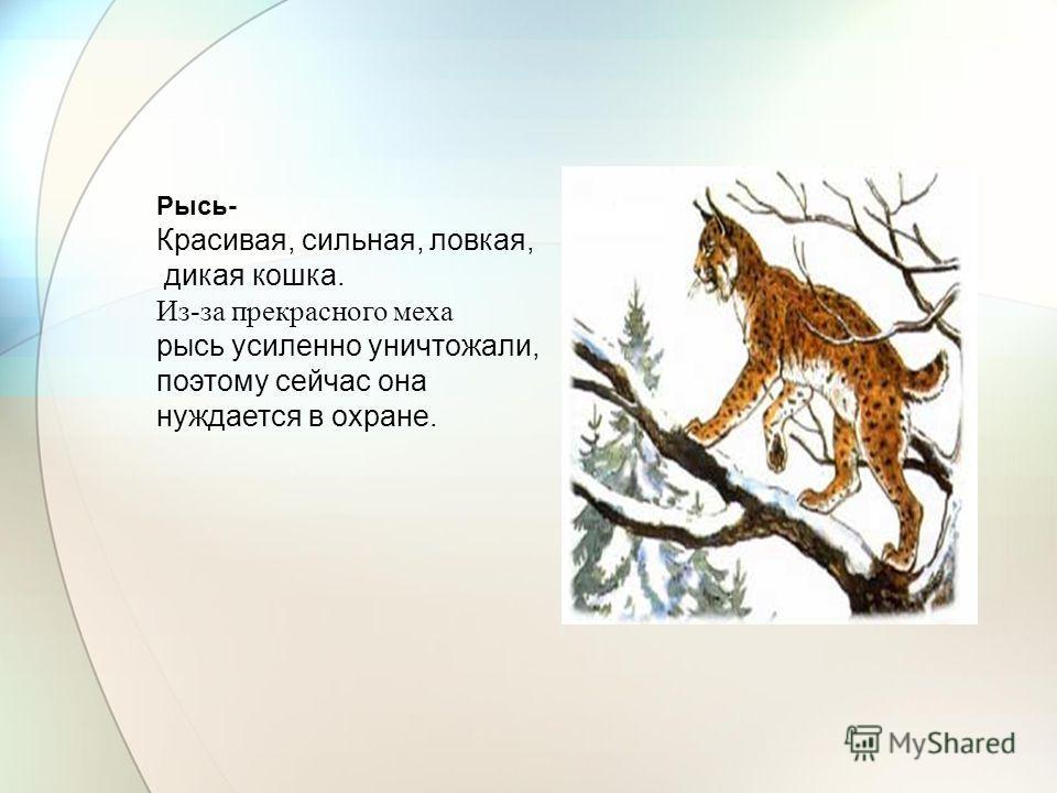 Рысь- Красивая, сильная, ловкая, дикая кошка. Из-за прекрасного меха рысь усиленно уничтожали, поэтому сейчас она нуждается в охране.