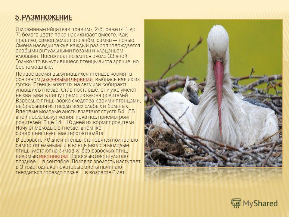 Отложенные яйца (как правило, 2-5, реже от 1 до 7) белого цвета пара насиживает вместе. Как правило, самец делает это днём, самка ночью. Смена наседки также каждый раз сопровождается особыми ритуальными позами и клацаньем клювами. Насиживание длится