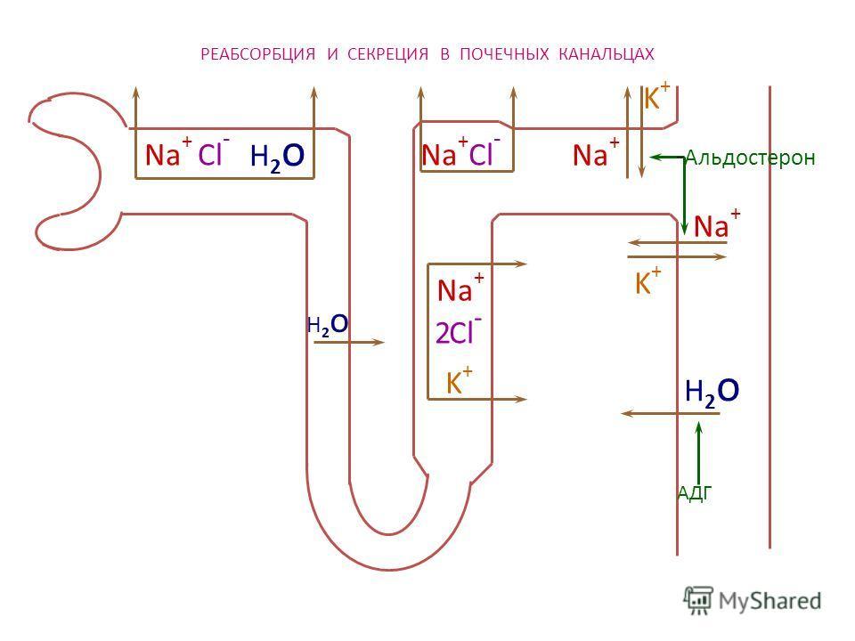 РЕАБСОРБЦИЯ И СЕКРЕЦИЯ В ПОЧЕЧНЫХ КАНАЛЬЦАХ Na + Cl - H2oH2o H2oH2o H2oH2o Na + K+K+ K+K+ K+K+ Cl - 2 АДГ Альдостерон