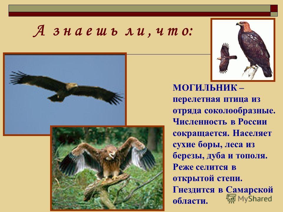 МОГИЛЬНИК – перелетная птица из отряда соколообразные. Численность в России сокращается. Населяет сухие боры, леса из березы, дуба и тополя. Реже селится в открытой степи. Гнездится в Самарской области.